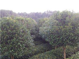 景观园林桂花出售
