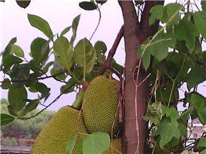出售一批菠蘿蜜樹