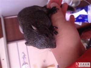 出售魔王松鼠,�S山,幼鼠