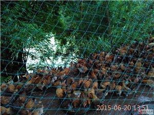 长期出售土鸡、可长期供应18398547281