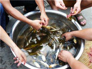 麻江宣威卡乌野生鱼
