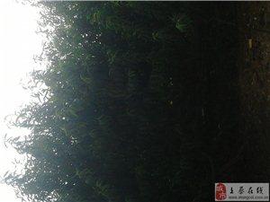 [原创]上蔡本地桃王,黄埠王营有机桃园,单个桃子重达400多克,有上图