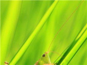 微距-蝗虫