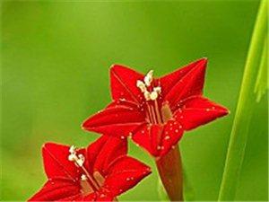 火红火红的花