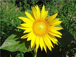 [原��][推�]]一朵向�花