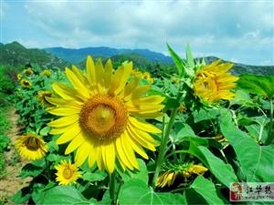 [分享]《三口铺佛爷岩的向日葵》