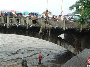 青衣江河水猛涨牛儿坐吊车被救(图)