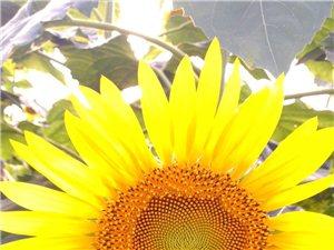 手机微距拍摄的向日葵,大家指导一下有什么不足!