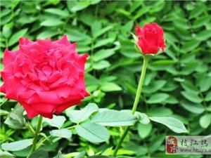[原创]红花·绿叶