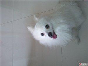 出售萨摩耶宠物狗
