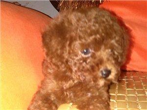 [原创]家养泰迪宝宝出售,喜欢狗狗的朋友速进