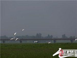 稷山:汾河滩上飞来了小精灵