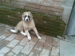 [原创]出售哈士奇 花脸高加索幼犬