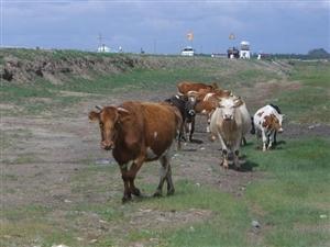 草原的牛羊