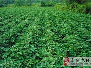 阜城县古城镇红薯基地的红薯开始出售批发了,13473813413