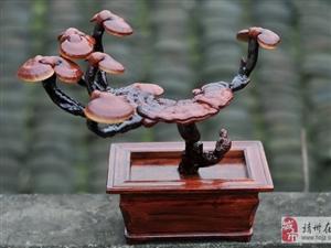 新艺传说——灵芝盆景