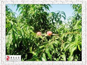 [原��]秦安的桃子
