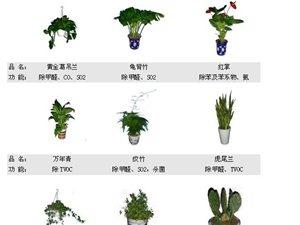 几种室内空气净化植物
