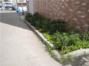 许多小区的绿地被种上蔬菜了,有木有?