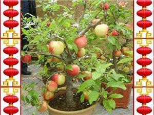 盆景――――苹果