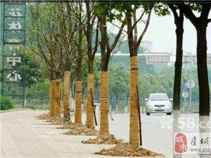 收购苏州地区各种緑化风景树香樟树广玉兰树等