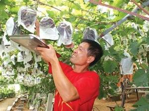 大泽山葡萄今起迎客品种多时间持续两月