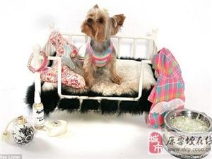 全球最奢华宠物:狗狗做瑜伽鸭子穿时装走猫步