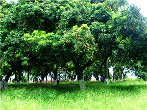 泸州·张坝桂圆林