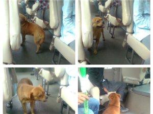 国版忠犬八公 小狗为找主人在车站苦等15天 每趟客车嗅一遍