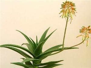 这十种植物有助新房的室内甲醛浓度的降低
