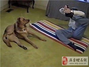 大狗学主人做瑜珈 后腿一滑直接伸展到脑后(图)
