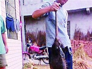 """(图)邵阳现体长90厘米重达5.1公""""鼠王"""""""