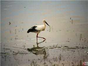 向阳湖区拍到国家一级珍惜动物