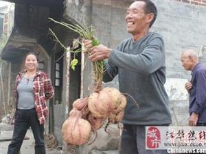 """组图:湖南嘉禾村民挖出24斤重""""红薯王"""""""