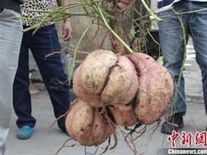 """湖南嘉禾村民挖出24斤重""""红薯王"""""""