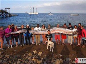 美国加州现近6米长皇带鱼 需15人抬