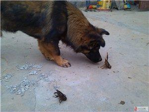 我家的dog和小虾米大战