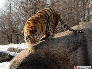 牡丹江拍(虎)