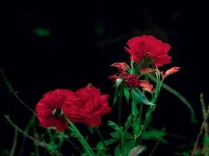 最后的玫瑰