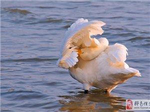 请欣赏(大天鹅、丹顶鹤、白鹭、苍鹭)