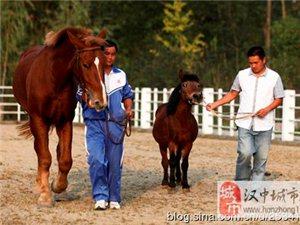 汉中宁强矮马是陕西西南部特有马种春秋时期引入
