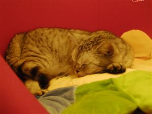猫咪的示爱方式