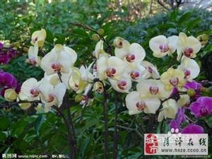 蝴蝶兰的种植