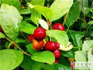 南庄村山上的野果子你认得几个?