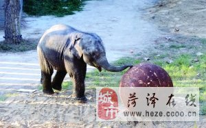 南宁1岁小象无奈北漂来南京  总被人家欺负