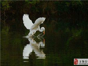 小清河畔惊现白鹭