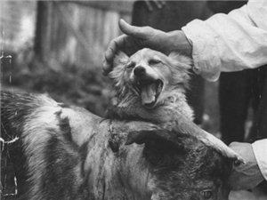50年前苏联恐怖的狗头移植手术全程