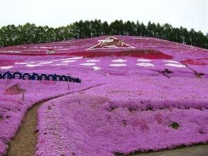 粉色海洋 到北海道花海度蜜月