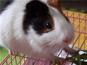 饲养可爱豚鼠的优点!