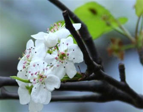 钦北板城梨花寒冬中开放,今年梨花花期在春节过后